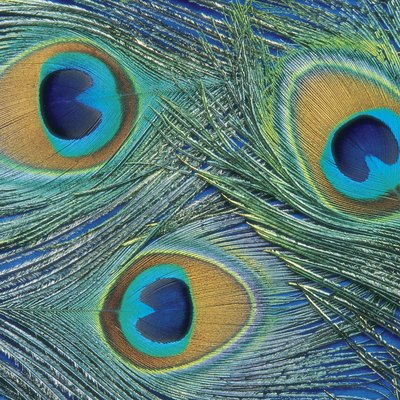 Things to Do With Peacock Feathers