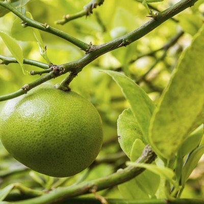 Why Are My Limes Turning Yellow & Falling Off the Tree?