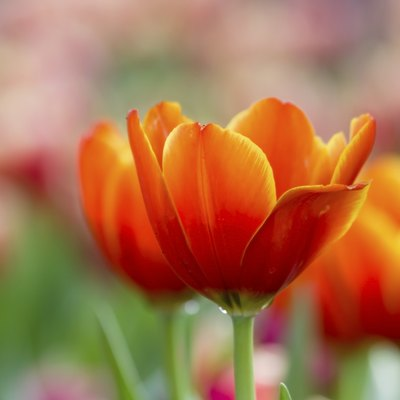 The Uses of the Tulip Flower
