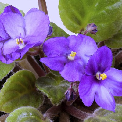 How to Kill Aphids on African Violets
