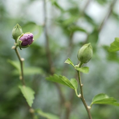 What Causes Rose Buds to Turn Brown Before Opening on Bushes?