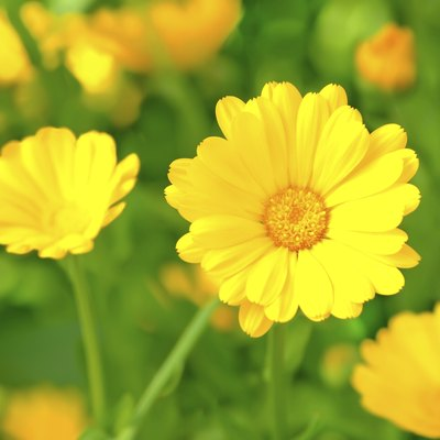 Is the Flower Marigold an Annual or a Perennial?