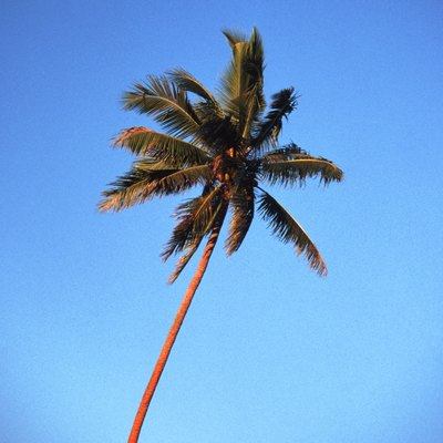 How to Cut Down a Palm Tree Without a Chain Saw