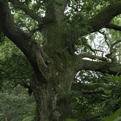 How to Tell the Difference Between a Red Oak Tree and a White Oak