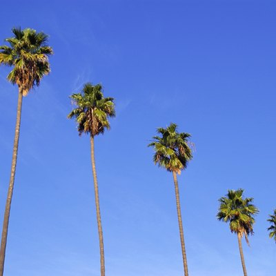 How to Transplant a Mexican Fan Palm