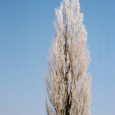 How Water Resistant Is Poplar Wood?