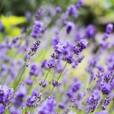 Lavander flowers close up
