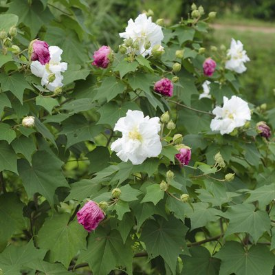 How to Grow a Confederate Rose
