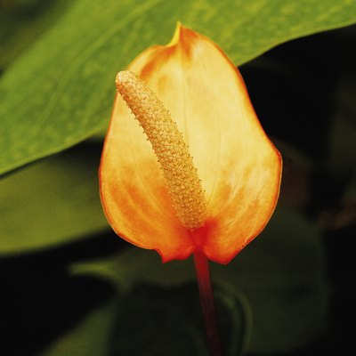How to Divide Anthuriums