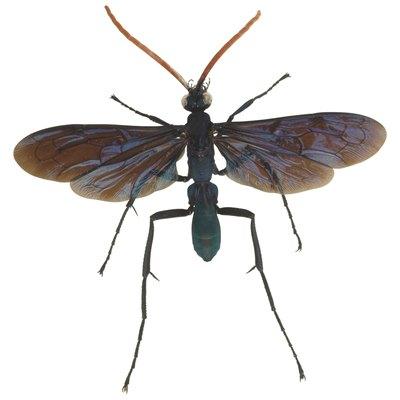 How to Get Rid of the Tarantula Hawk Wasp