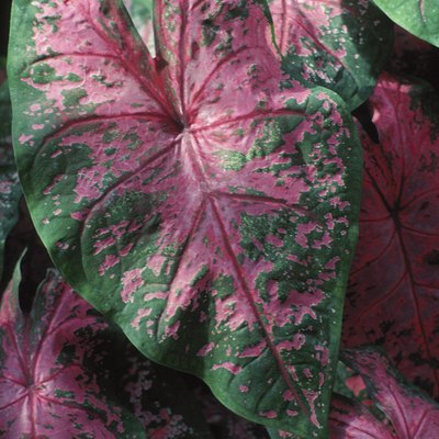 Caladium Leaves Are Drooping