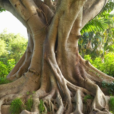 How to Care for a Bodhi or Bo Tree