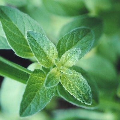 Fresh mint leaf, close-up