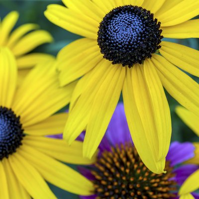 The Differences in a Black-Eyed Susan & a Sunflower