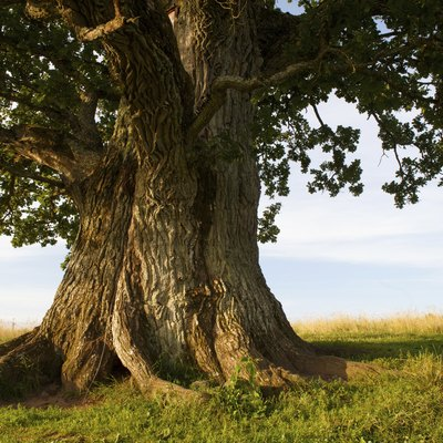 Trees Used to Make Furniture