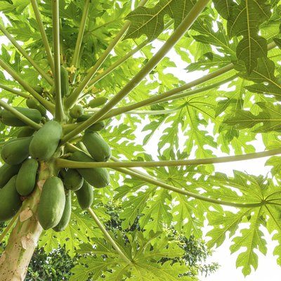 How Long Does it Take For a Papaya Tree to Produce Fruit?