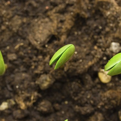 How Long Does It Take for Soybeans to Grow?