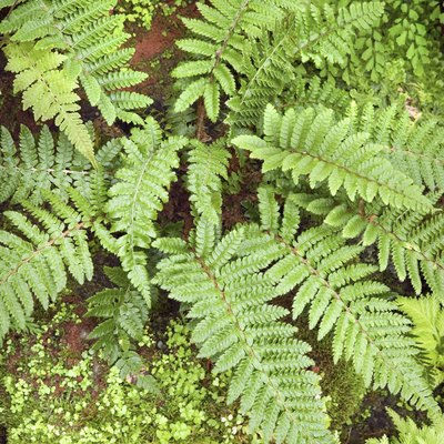 Are Boston Ferns Poisonous to Pets?