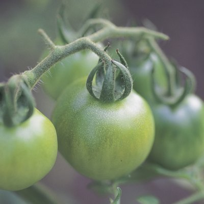 The Best Fungicide for Tomatoes