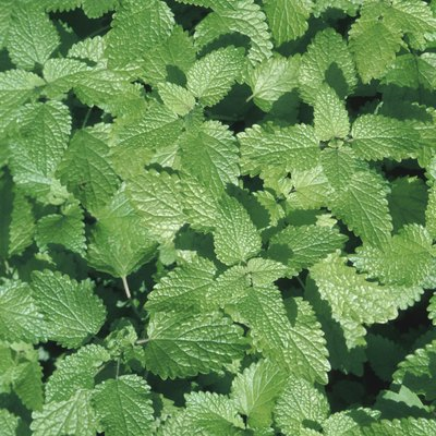 How to Get Rid of Mint Rust