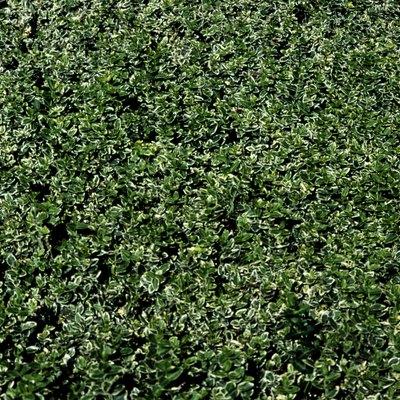 laurel hedge