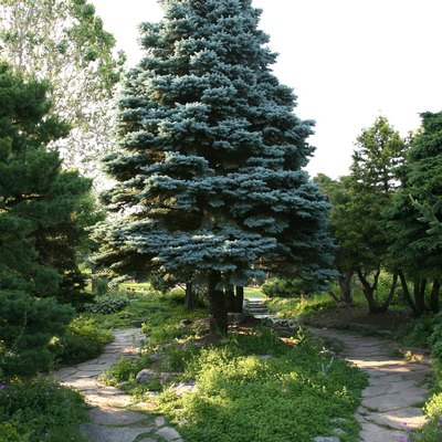 The Best Time to Trim a Blue Spruce