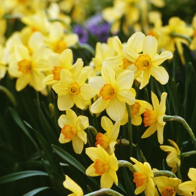 How to Get Cut Daffodills to Bloom