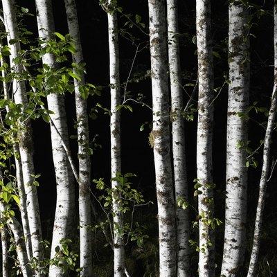 Silver Birch Diseases