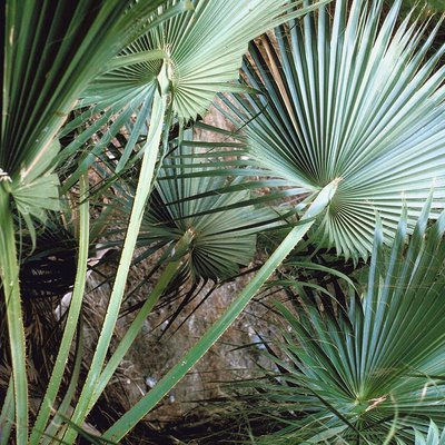 The Root System of Fan Palms