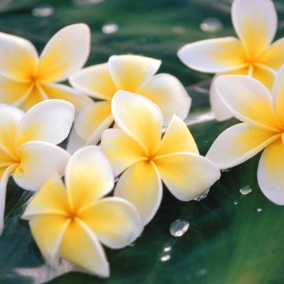 The Root System of Plumeria