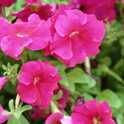 How to Keep Petunias Flowering