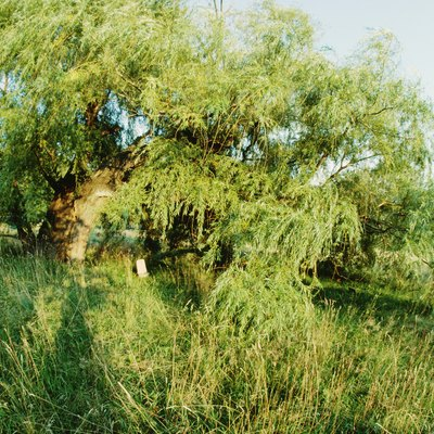 Is My Willow Tree Dead?