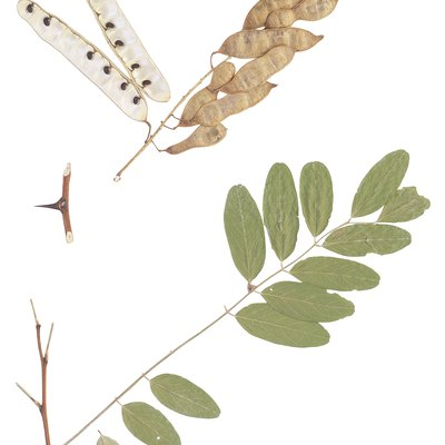 The Honey Locust Tree Root System
