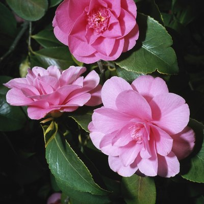 Are Camellias Poisonous to Humans?