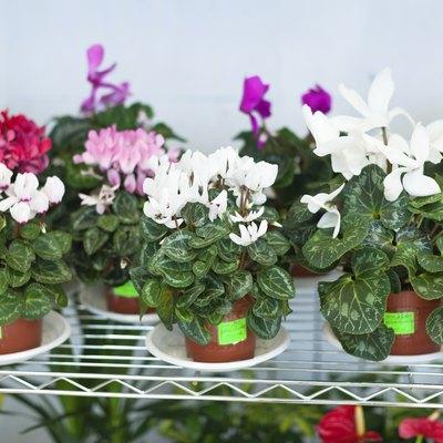 Cyclamen in pots at flower store