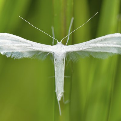 White Moths in My Grass