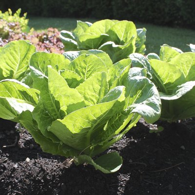 How to Know When Romaine Lettuce Is Ready to Pick