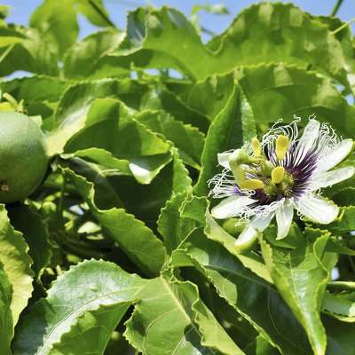 Passiflora edulis flower