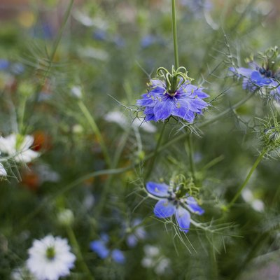 How to Grow Nigella Sativa