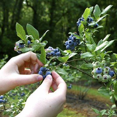 Where Do Wild Huckleberries Grow?