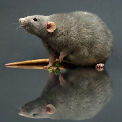 Studio shot of alert rat sniffing