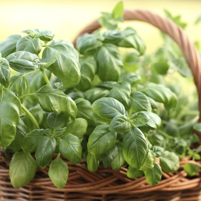 Minimum Temperatures for Basil Plants