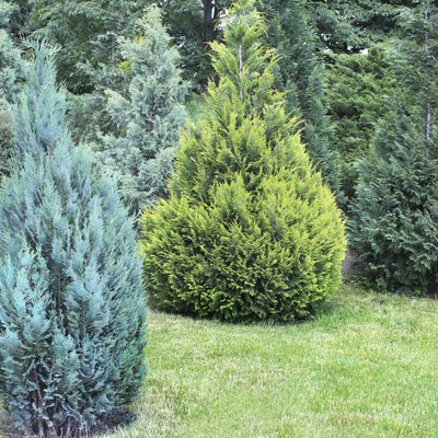 What Are Shade-Loving Junipers?