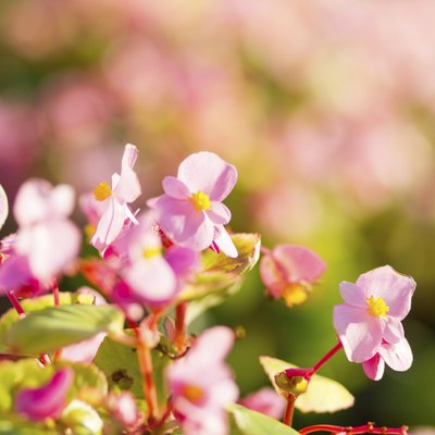 Which Begonias Tolerate Hot Sun?
