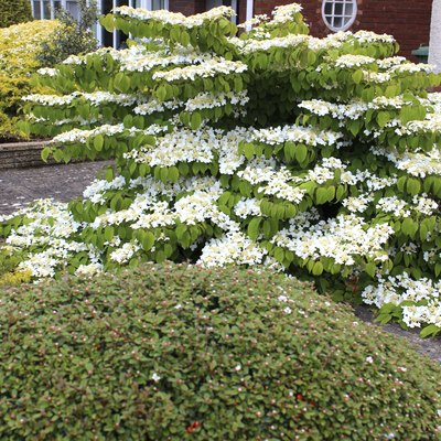 Growth Rate for Sweet Viburnum