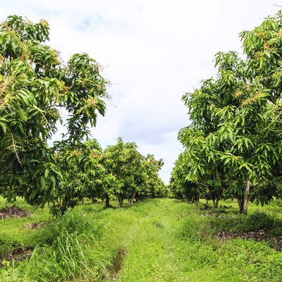 Mango Tree & Its Uses