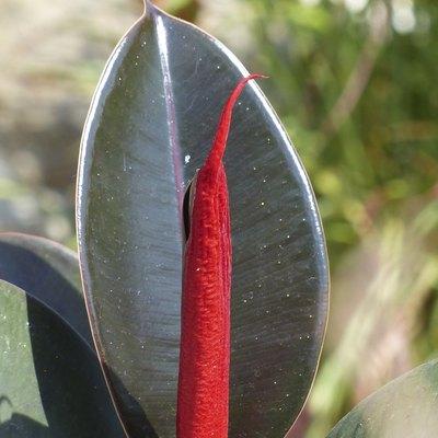 Around our pond - Ficus elastica