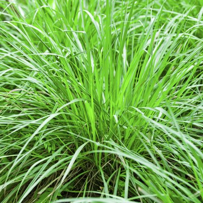 Does Lemon Grass Repel Mosquitoes?
