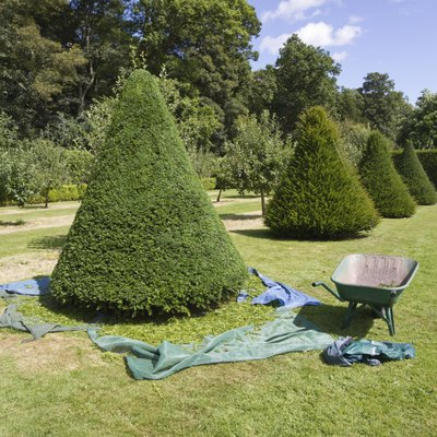 How to Fertilize Yews