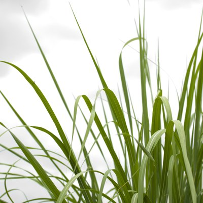 How to Identify Sweet Grass